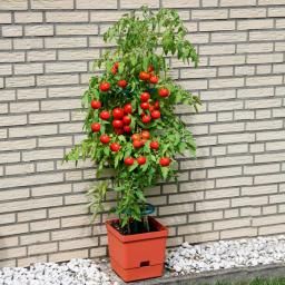 Tomaten-Tower