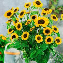 Sonnenblume Sonja