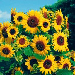 Sonnenblume Waooh