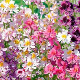 Bauernorchideensamen Tinkerbell-Mischung