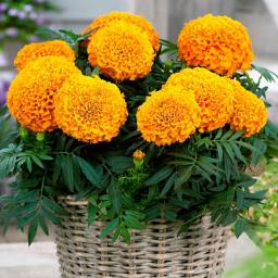 Tagetes Taishan Orange F1