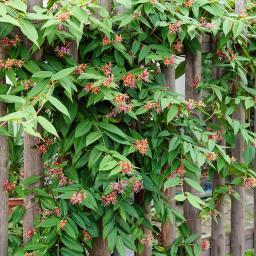 Immergrünes Geißblatt