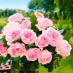 Edelrose Meister-Rose®  Jubilee, im ca. 17 cm-Einpflanz-Topf
