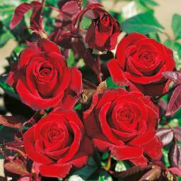 Rose Schwarze Madonna®, 1 Stück