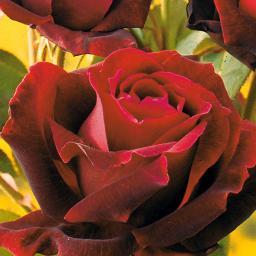 Rose Norita®