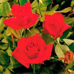 Meister-Rose® Opa Pötschke®, 1 Stück