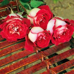 Rose Osiria, 1 Stück