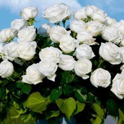 Rose Roger Whittaker®