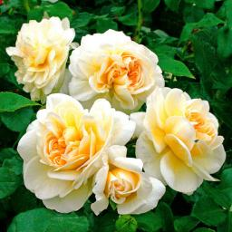 Rose Lady Romantica®, XL-Qualität