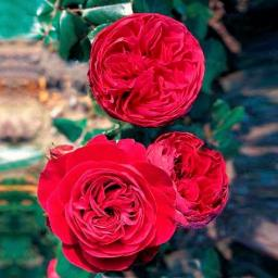 Rose Red Leonardo da Vinci®