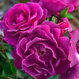 Rose Bluebell®, 1 Stück