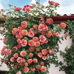 Rose Aloha®, im 5-Liter-Topf