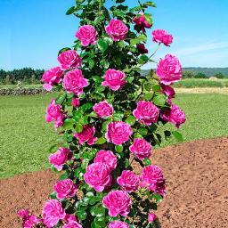 Gärtner Pötschkes Rose Duftkaskade