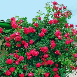 Rose Laguna, XL-Qualität