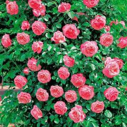Rose Rosanna®, XL-Qualität