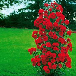Rose Shalom®, 1 Stück