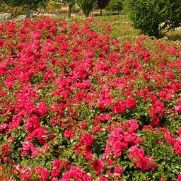 Rose Gärtnerfreude®, XL-Qualität