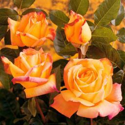 Edelrose Gloria Dei, im ca. 23 cm-Topf