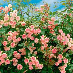Rose Mini Eden®, im 3-Liter-Topf