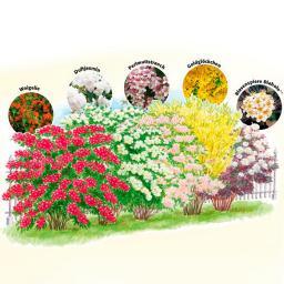 Ziergehölz-Sortiment Blütenhecke