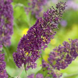 Schmetterlingsflieder, violett, im ca. 19 cm-Topf