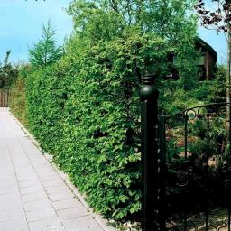 Hainbuche, 40-50cm, 6 Pflanzen
