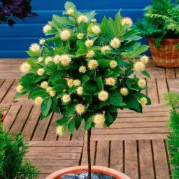 Sternenzauber-Baum,  im ca. 18 cm-Topf