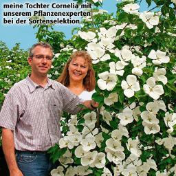 Blumenhartriegel Venus™, 60/80 cm