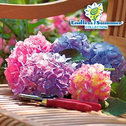 Hortensie Endless Summer® The Original, XL-Qualität