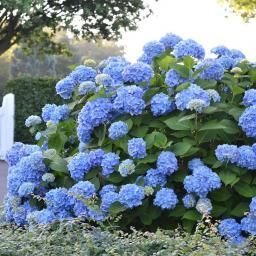 Hortensie Endless Summer® The Original, blau, XL-Qualität