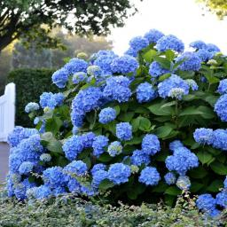 Hortensie Endless Summer® The Original, blau, im ca. 23 cm-Topf