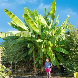 Winterharte Banane