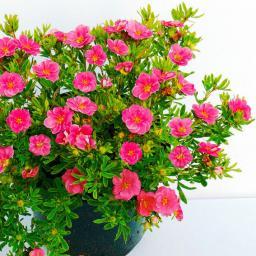 Rosen-Fünffingerstrauch Pink Paradise, im ca. 19 cm-Topf