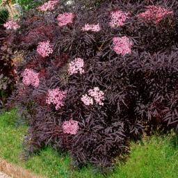 Duft-Holunder Black Lace®