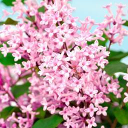 Bloomerang®-Flieder Pink Perfume