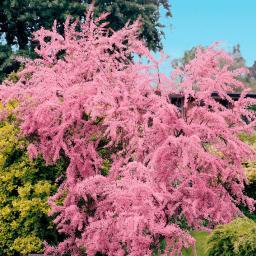 Frühlings-Tamariske, im ca. 19 cm-Topf