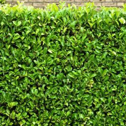 Kirschlorbeer Rotundifolia, im ca. 9 cm-Topf, Höhe ca. 25-30 cm