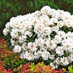 Rhododendron Honigduft