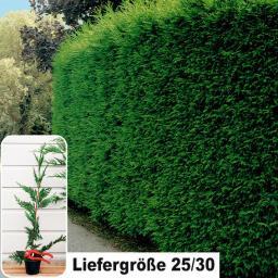 Leylandzypresse, 25-30cm