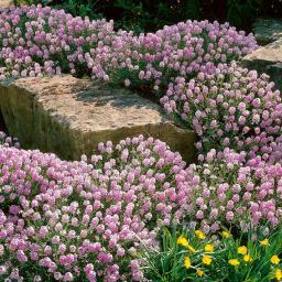 Großblumiges Steintäschel