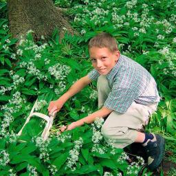 Bärlauch-Pflanze