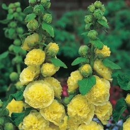 Gefüllte Stockrose, gelb, im ca. 9 cm-Topf