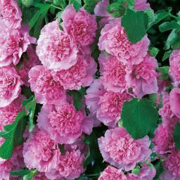 Gefüllte Stockrose, rosa, im ca. 9 cm-Topf