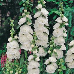 Gefüllte Stockrose, weiß, im ca. 9 cm-Topf