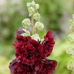 Gefüllte Stockrose, schwarzrot, im ca. 9 cm-Topf