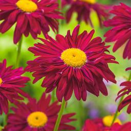 Garten-Margerite Robinsons Red, im ca. 9 cm-Topf