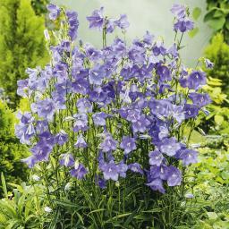 Blaue Pfirsichblättrige Glockenblume, im ca. 9 cm-Topf