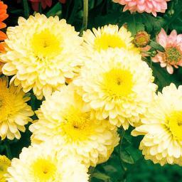 Winteraster, gelb, im ca. 9 cm-Topf