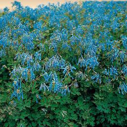 Himmelblauer Lerchensporn