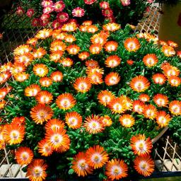 Mittagsblume Perfect Orange